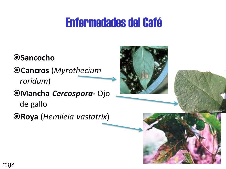 Enfermedades del café Moho de hilacha (Pellicularia koleroga) Mal rosado (corticium salmanicolor) Gotera- Ojo de sapo (Mycena citricolor) Antracnosis (Colletotrichum gloeosporioides)