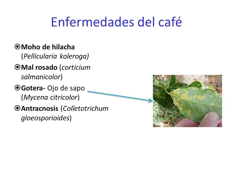 Enfermedades del Café Muerte regresiva de las ramas Llaga macana ( Ceratocystis fimbriata ) Marchitez vascular Pudrición de la raíz Mancha bacteriana ( Pseudomonoas sp.) Fumagina y Phthiriosis (Interacciones con insectos) mgs