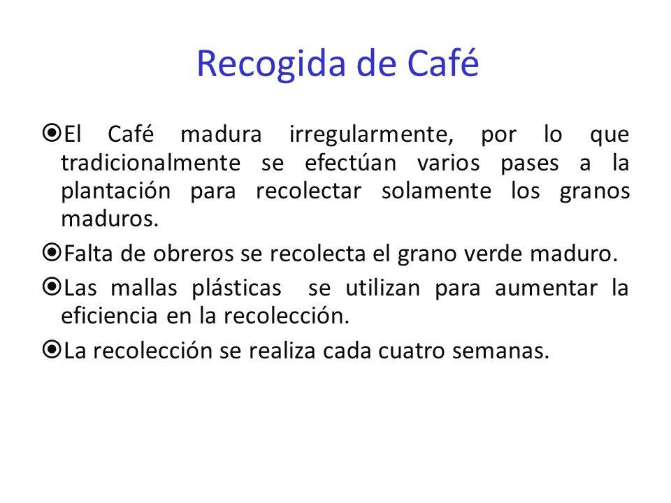 Recogida de Café El Café madura irregularmente, por lo que tradicionalmente se efectúan varios pases a la plantación para recolectar solamente los gra
