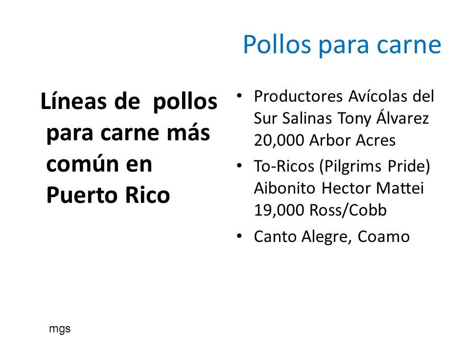 Pollos para carne Líneas de pollos para carne más común en Puerto Rico Productores Avícolas del Sur Salinas Tony Álvarez 20,000 Arbor Acres To-Ricos (