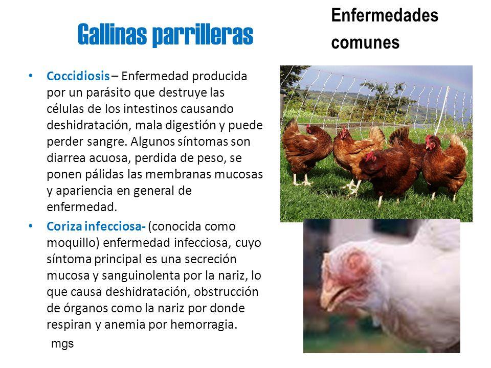 Gallinas parrilleras Enfermedades comunes Coccidiosis – Enfermedad producida por un parásito que destruye las células de los intestinos causando deshi