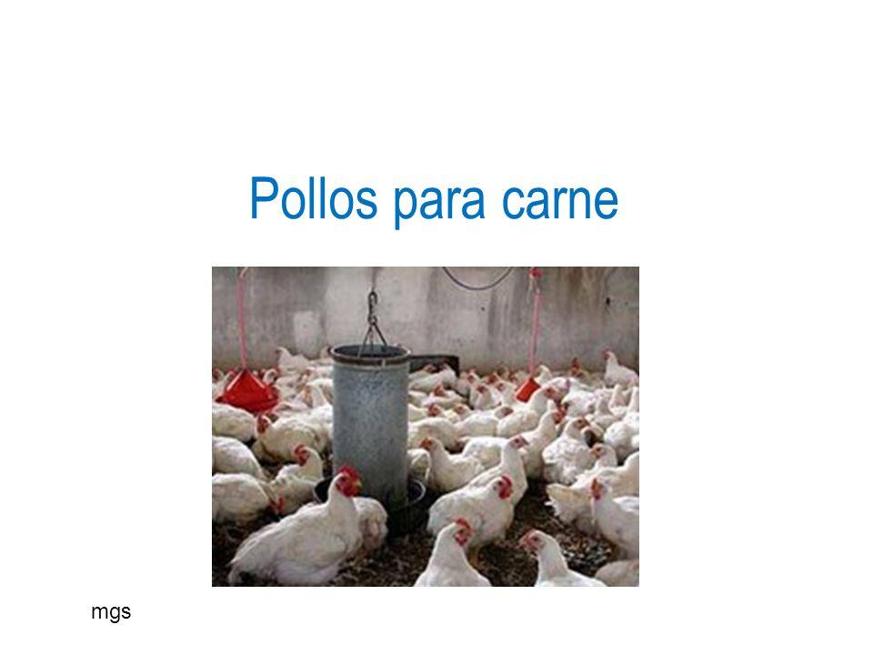 Pollos para carne mgs