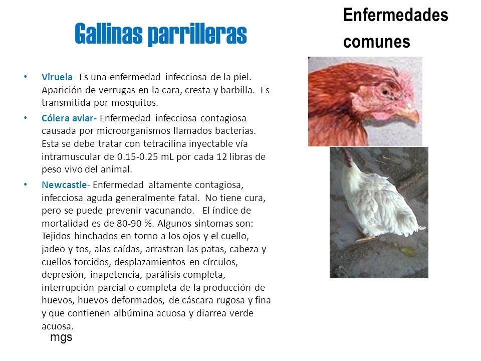 Gallinas parrilleras Enfermedades comunes Viruela- Es una enfermedad infecciosa de la piel. Aparición de verrugas en la cara, cresta y barbilla. Es tr