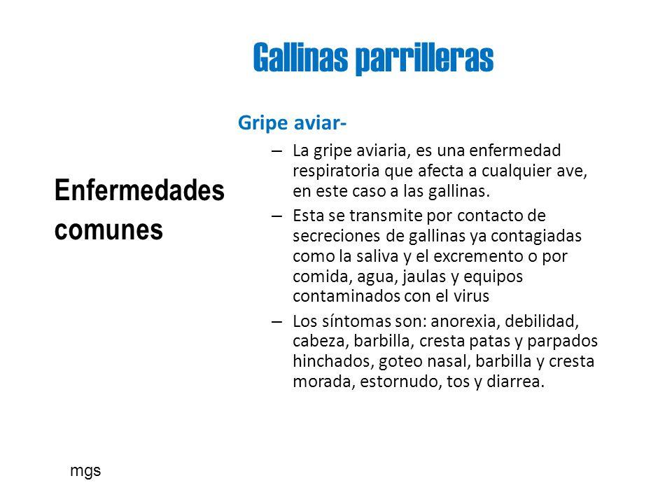 Gallinas parrilleras Enfermedades comunes Gripe aviar- – La gripe aviaria, es una enfermedad respiratoria que afecta a cualquier ave, en este caso a l