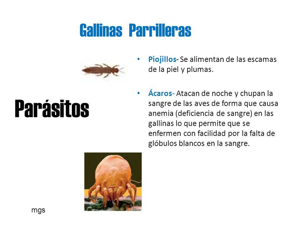 Gallinas Parrilleras Parásitos Piojillos- Se alimentan de las escamas de la piel y plumas. Ácaros- Atacan de noche y chupan la sangre de las aves de f