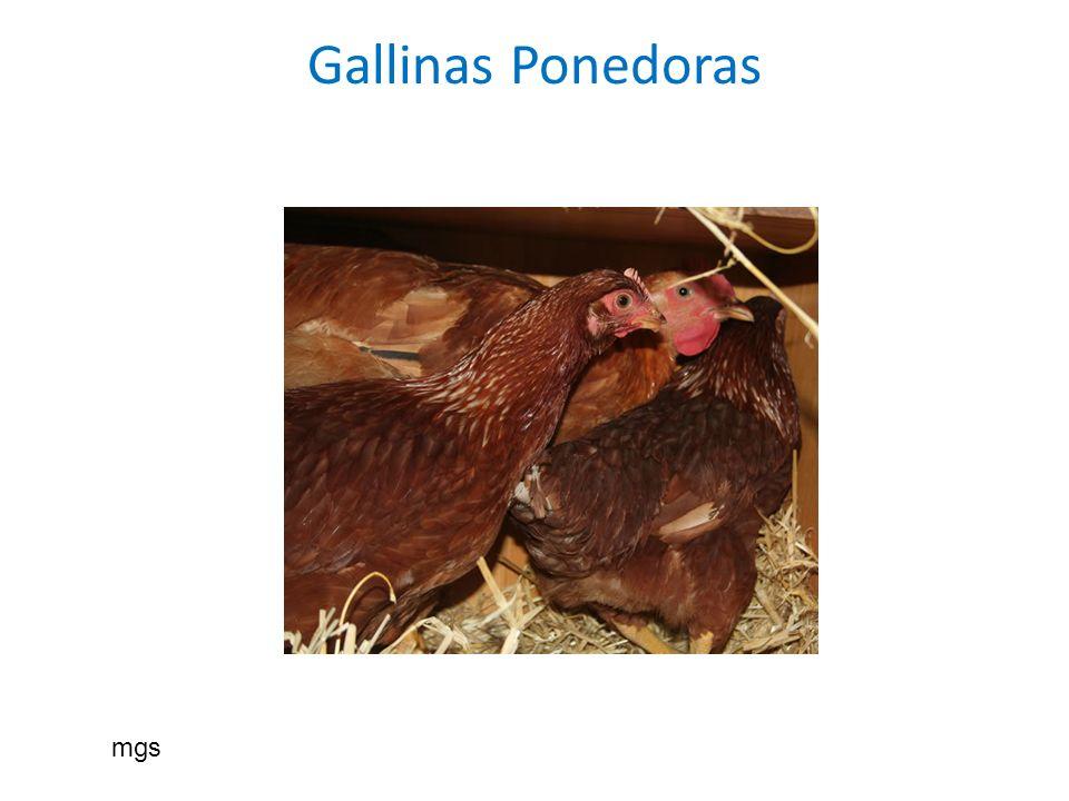 Gallinas Ponedoras mgs