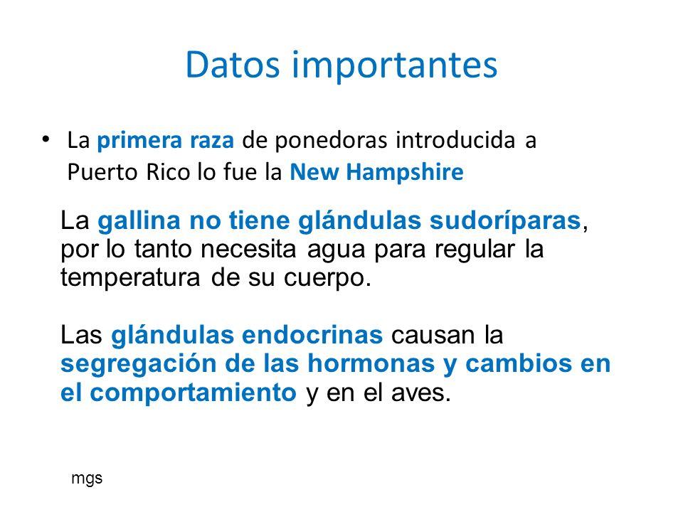 Datos importantes La primera raza de ponedoras introducida a Puerto Rico lo fue la New Hampshire La gallina no tiene glándulas sudoríparas, por lo tan