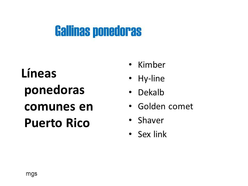 Gallinas ponedoras Líneas ponedoras comunes en Puerto Rico Kimber Hy-line Dekalb Golden comet Shaver Sex link mgs