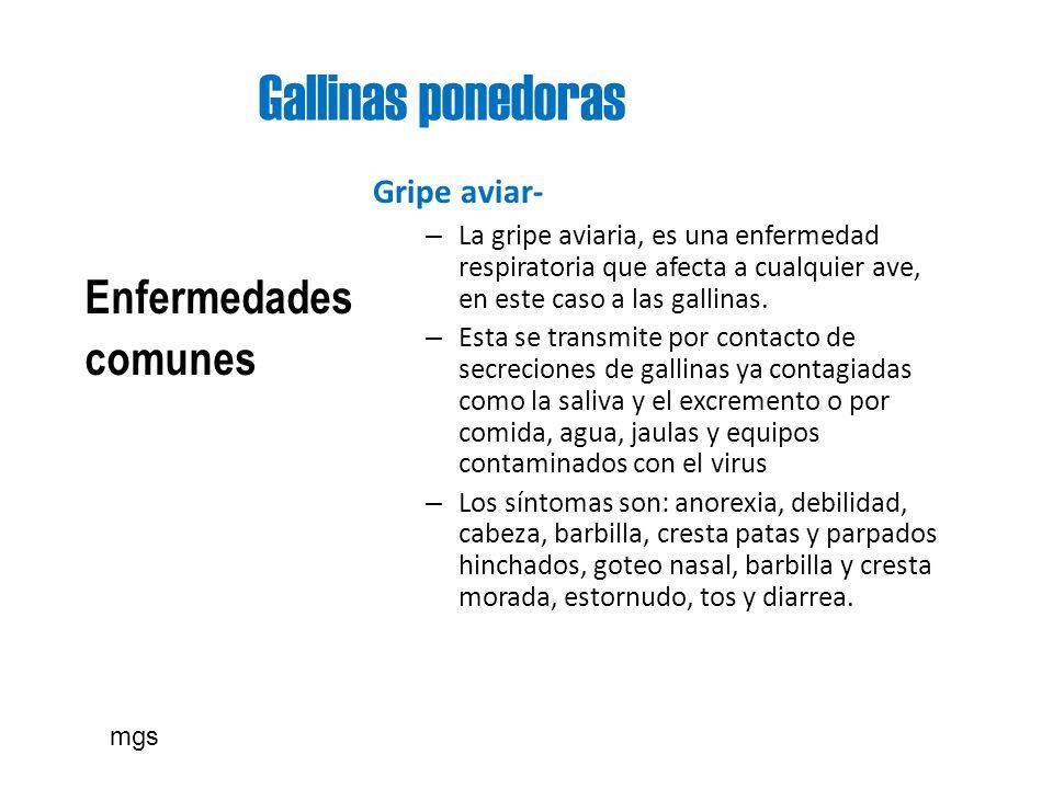 Gallinas ponedoras Enfermedades comunes Gripe aviar- – La gripe aviaria, es una enfermedad respiratoria que afecta a cualquier ave, en este caso a las