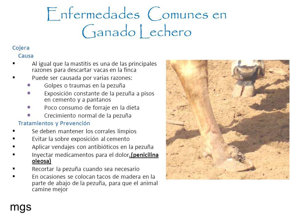 Enfermedades Comunes en Ganado Lechero mgs Cojera Causa Al igual que la mastitis es una de las principales razones para descartar vacas en la finca Pu