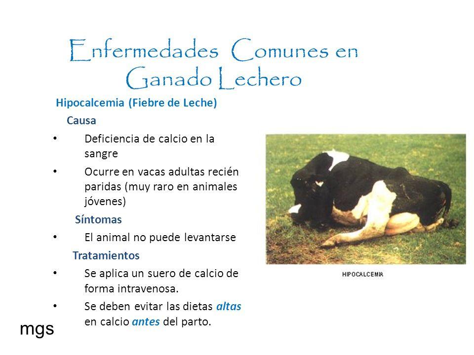 Enfermedades Comunes en Ganado Lechero mgs Hipocalcemia (Fiebre de Leche) Causa Deficiencia de calcio en la sangre Ocurre en vacas adultas recién pari