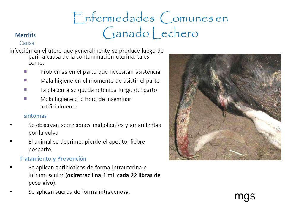 Enfermedades Comunes en Ganado Lechero mgs Metritis Causa infección en el útero que generalmente se produce luego de parir a causa de la contaminación