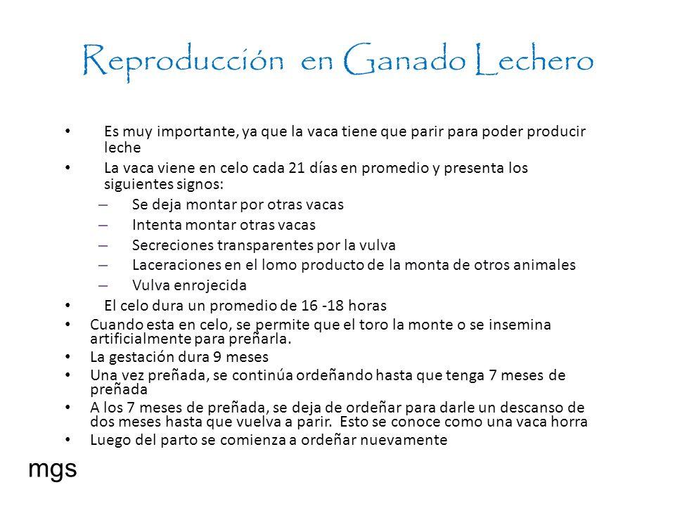 Reproducción en Ganado Lechero Es muy importante, ya que la vaca tiene que parir para poder producir leche La vaca viene en celo cada 21 días en prome