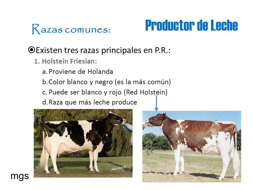 Productor de Leche Razas comunes: Existen tres razas principales en P.R.: 1.Holstein Friesian: a.Proviene de Holanda b.Color blanco y negro (es la más
