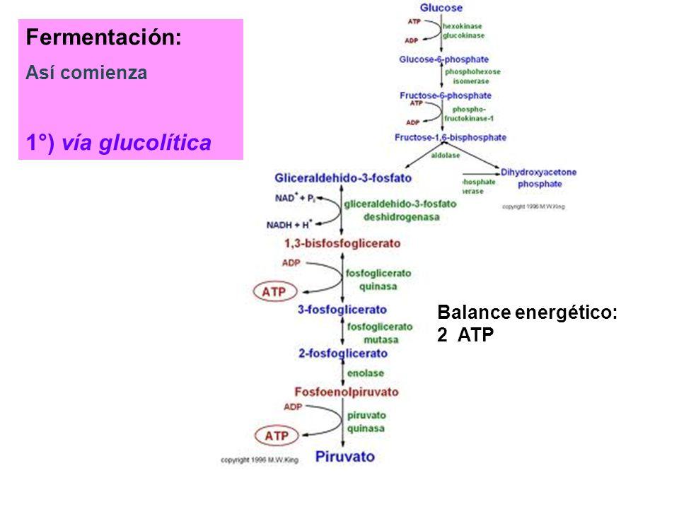 Fotosíntesis anoxigénica Bacterias rojas Bacterias verdes
