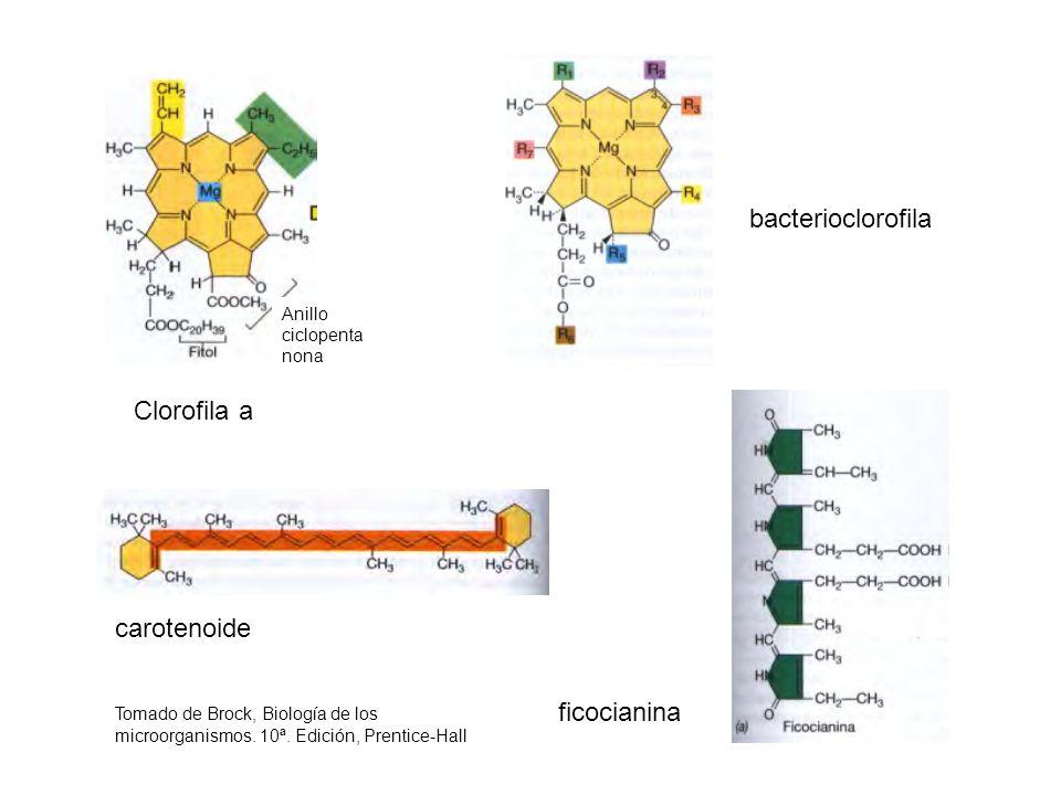 Anillo ciclopenta nona Clorofila a bacterioclorofila carotenoide Tomado de Brock, Biología de los microorganismos. 10ª. Edición, Prentice-Hall ficocia