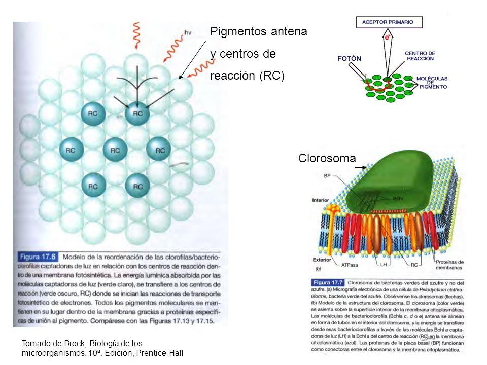 Clorosoma Pigmentos antena y centros de reacción (RC) Tomado de Brock, Biología de los microorganismos. 10ª. Edición, Prentice-Hall