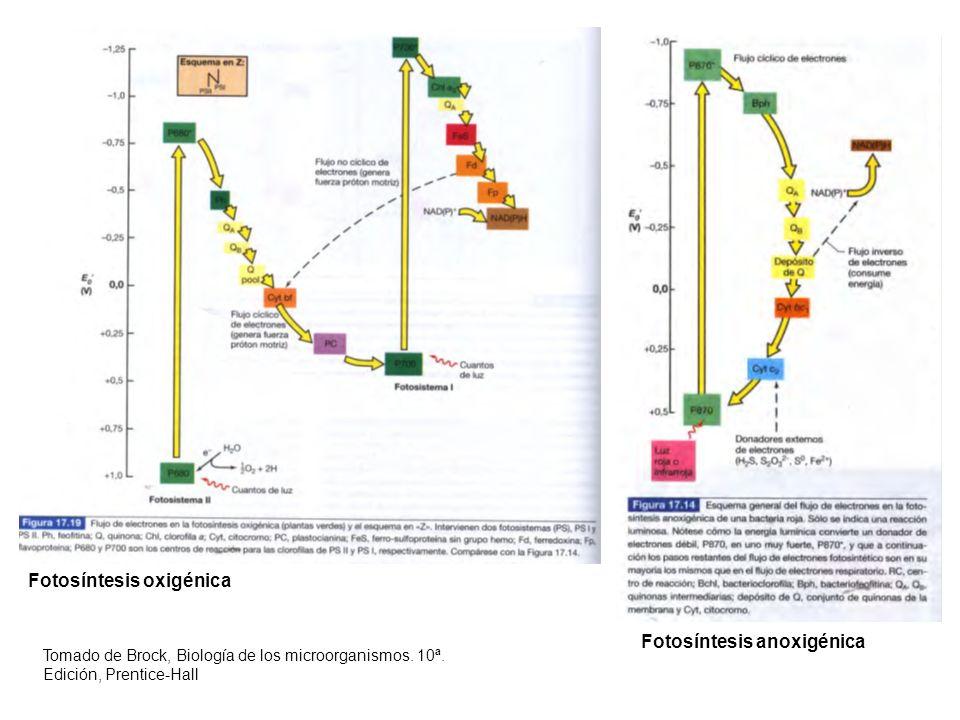 Fotosíntesis oxigénica Fotosíntesis anoxigénica Tomado de Brock, Biología de los microorganismos. 10ª. Edición, Prentice-Hall