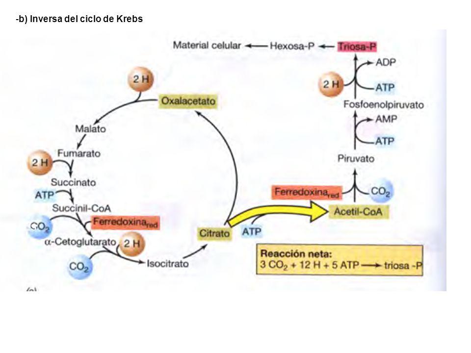 -b) Inversa del ciclo de Krebs Es