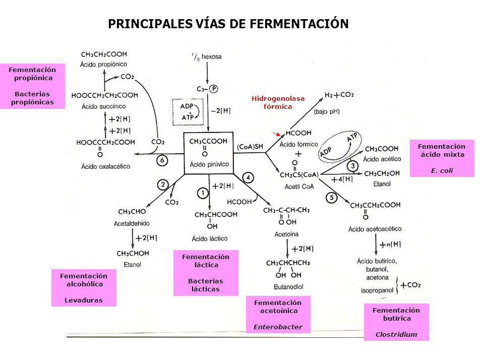 PRINCIPALES VÍAS DE FERMENTACIÓN Hidrogenolasa fórmica Fementación ácido mixta E. coli Fementación butírica Clostridium Fementación acetoínica Enterob
