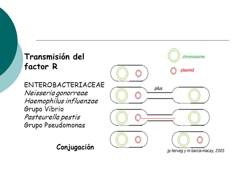Conjugación Transmisión del factor R ENTEROBACTERIACEAE Neisseria gonorreae Haemophilus influenzae Grupo Vibrio Pasteurella pestis Grupo Pseudomonas
