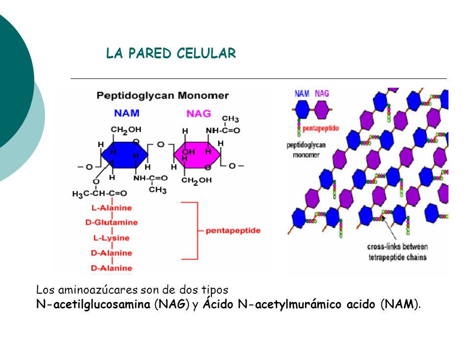 LA PARED CELULAR Los aminoazúcares son de dos tipos N-acetilglucosamina (NAG) y Ácido N-acetylmurámico acido (NAM).