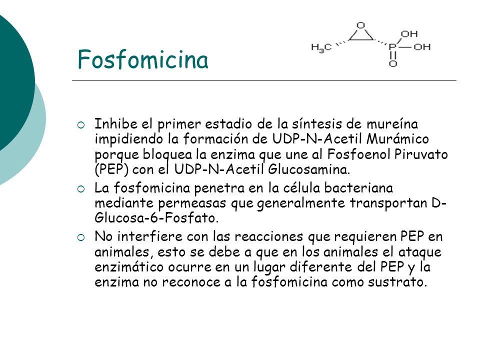 Fosfomicina Inhibe el primer estadio de la síntesis de mureína impidiendo la formación de UDP-N-Acetil Murámico porque bloquea la enzima que une al Fo