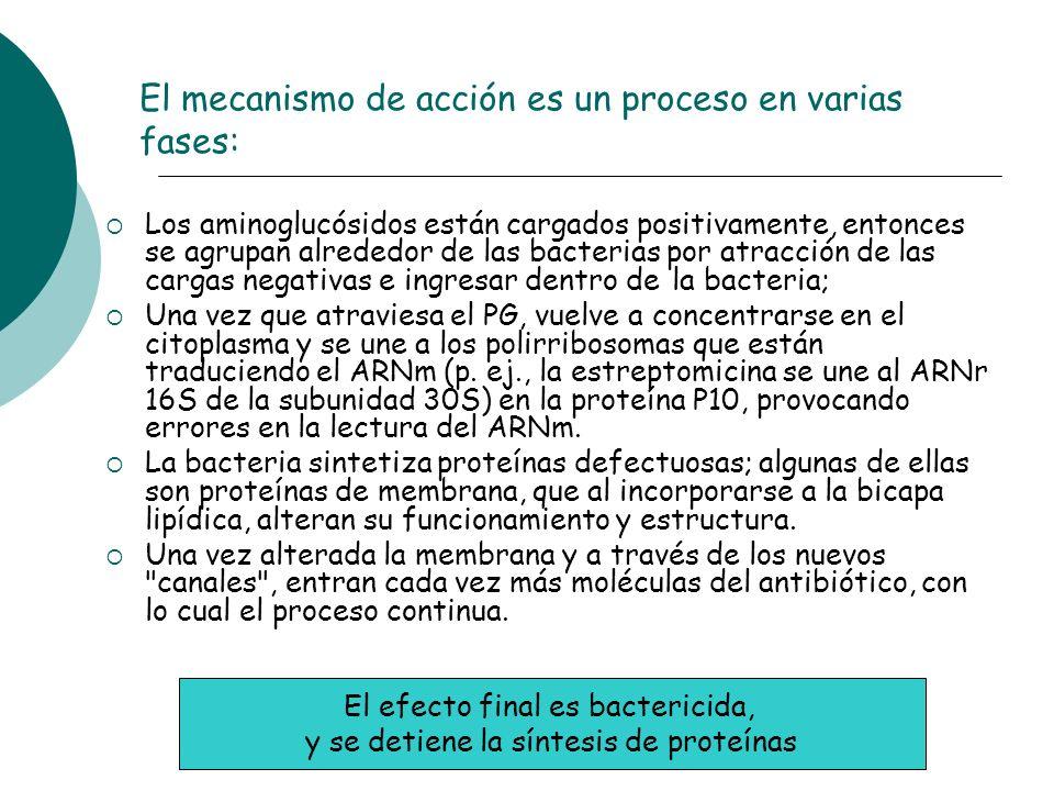 El mecanismo de acción es un proceso en varias fases: Los aminoglucósidos están cargados positivamente, entonces se agrupan alrededor de las bacterias
