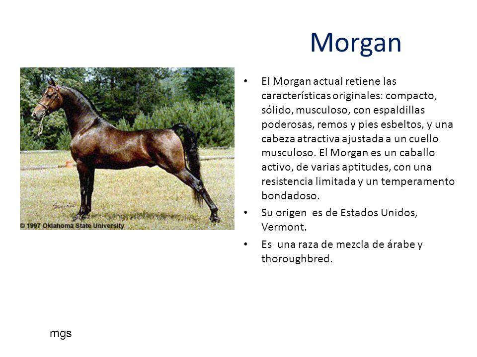 Morgan El Morgan actual retiene las características originales: compacto, sólido, musculoso, con espaldillas poderosas, remos y pies esbeltos, y una c