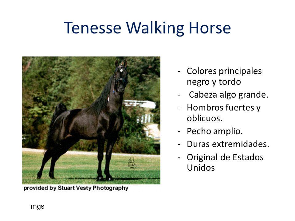Tenesse Walking Horse -Colores principales negro y tordo - Cabeza algo grande. -Hombros fuertes y oblicuos. -Pecho amplio. -Duras extremidades. -Origi