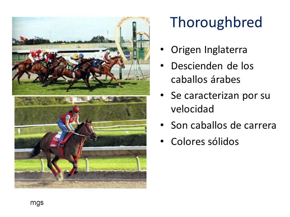 Thoroughbred Origen Inglaterra Descienden de los caballos árabes Se caracterizan por su velocidad Son caballos de carrera Colores sólidos mgs