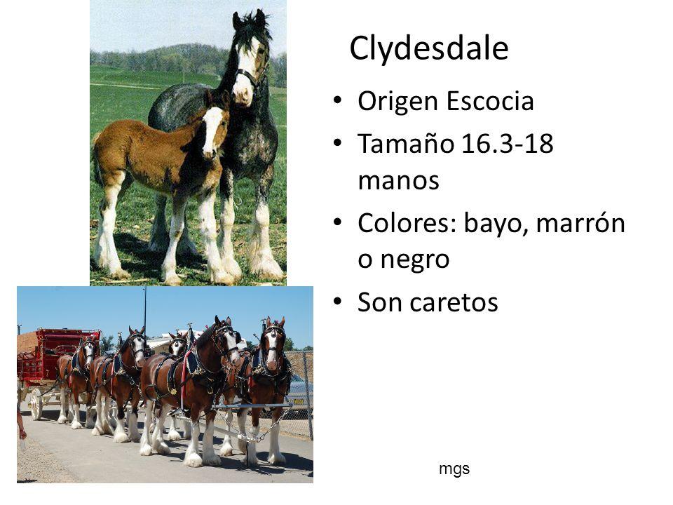 Clydesdale Origen Escocia Tamaño 16.3-18 manos Colores: bayo, marrón o negro Son caretos mgs