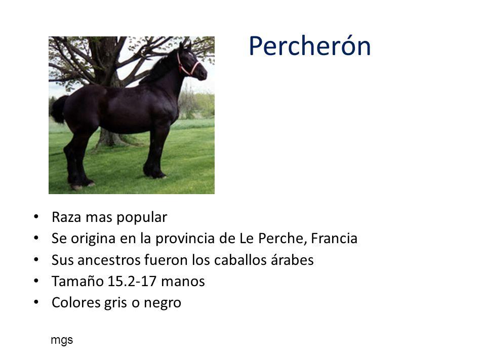 Percherón Raza mas popular Se origina en la provincia de Le Perche, Francia Sus ancestros fueron los caballos árabes Tamaño 15.2-17 manos Colores gris