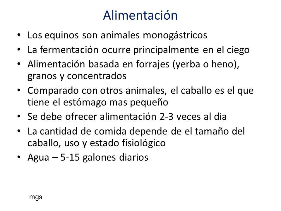 Alimentación Los equinos son animales monogástricos La fermentación ocurre principalmente en el ciego Alimentación basada en forrajes (yerba o heno),