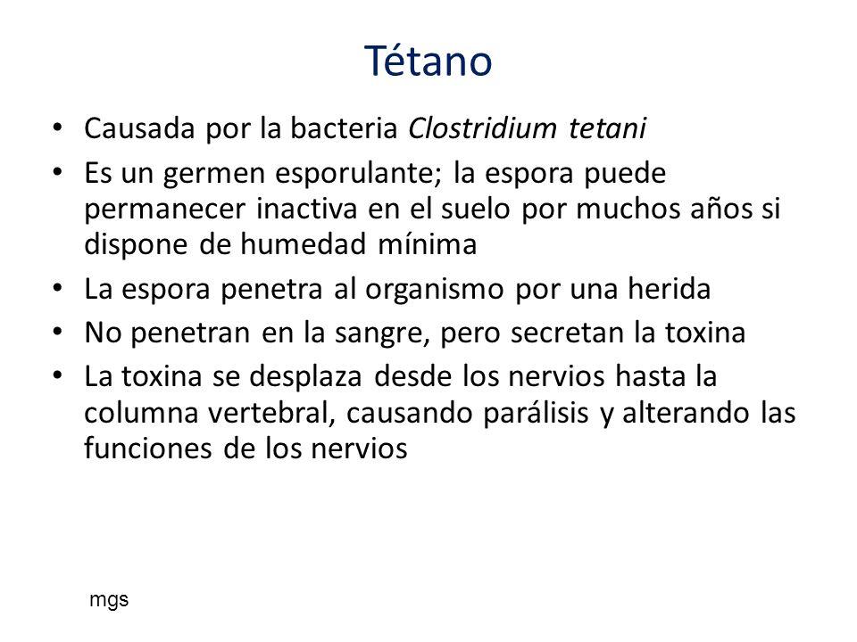Tétano Causada por la bacteria Clostridium tetani Es un germen esporulante; la espora puede permanecer inactiva en el suelo por muchos años si dispone