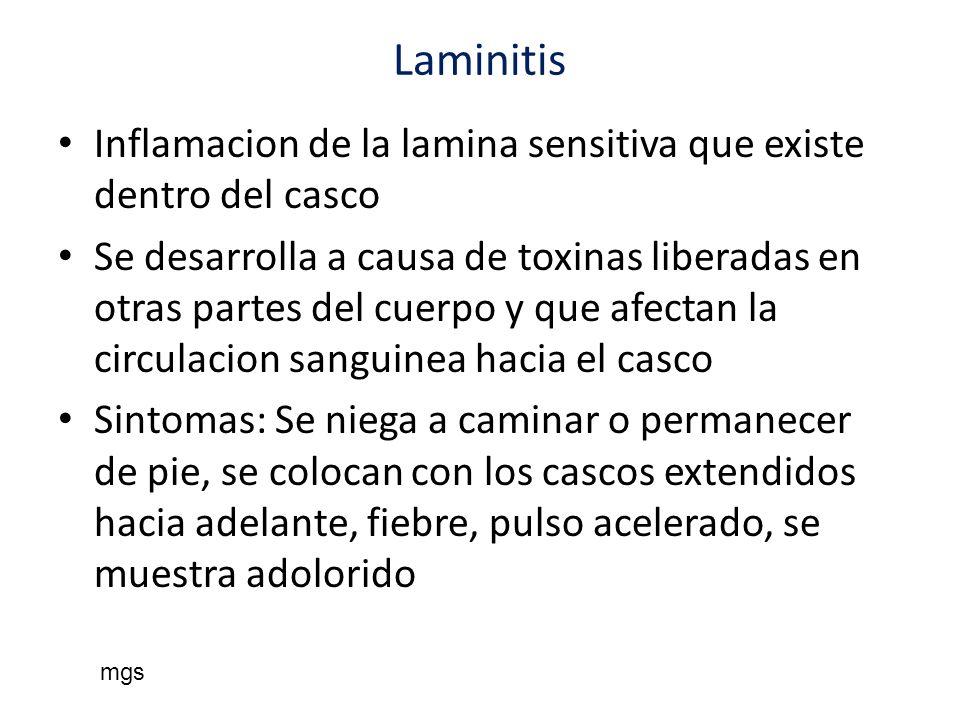 Laminitis Inflamacion de la lamina sensitiva que existe dentro del casco Se desarrolla a causa de toxinas liberadas en otras partes del cuerpo y que a