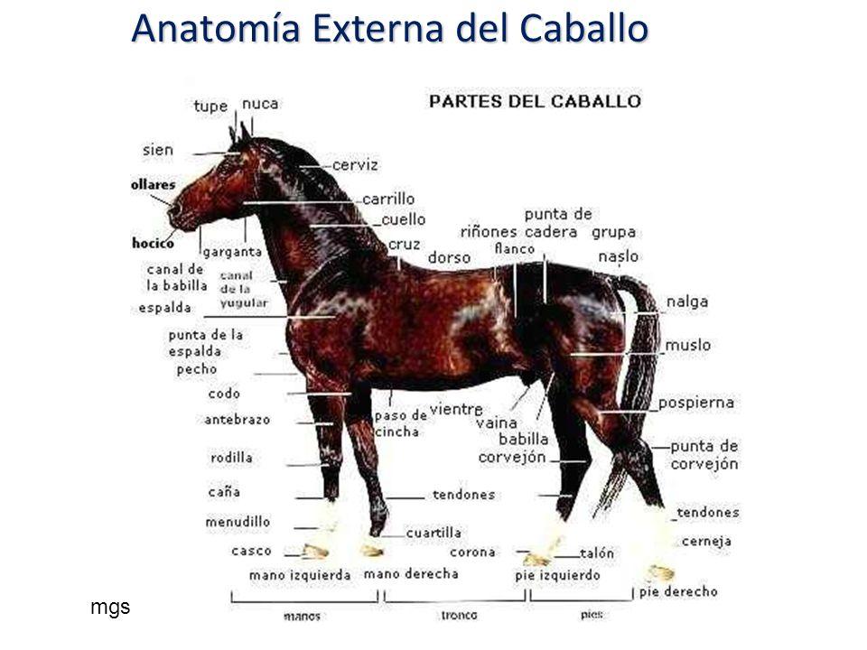 Anatomía Externa del Caballo mgs