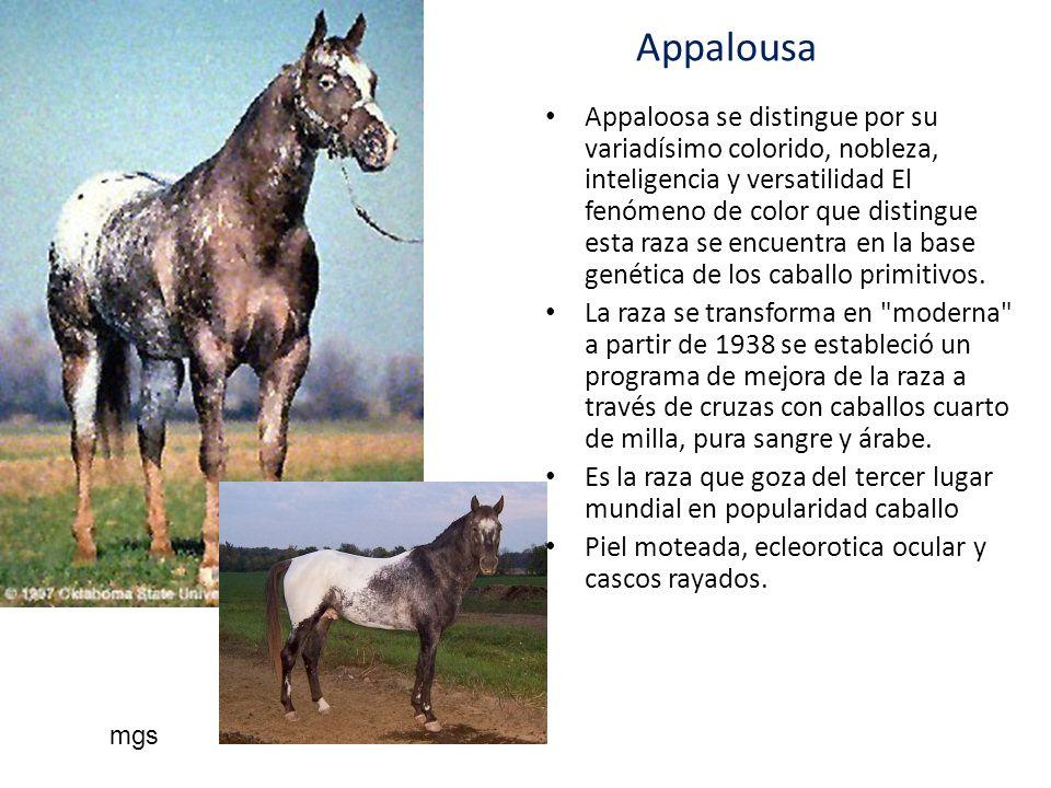 Appalousa Appaloosa se distingue por su variadísimo colorido, nobleza, inteligencia y versatilidad El fenómeno de color que distingue esta raza se enc