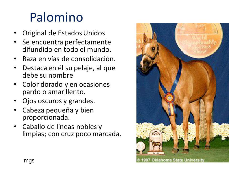Palomino Original de Estados Unidos Se encuentra perfectamente difundido en todo el mundo. Raza en vías de consolidación. Destaca en él su pelaje, al