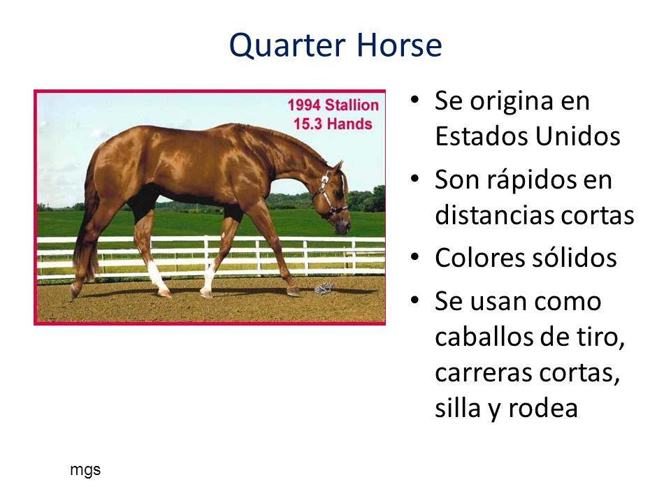 Quarter Horse Se origina en Estados Unidos Son rápidos en distancias cortas Colores sólidos Se usan como caballos de tiro, carreras cortas, silla y ro
