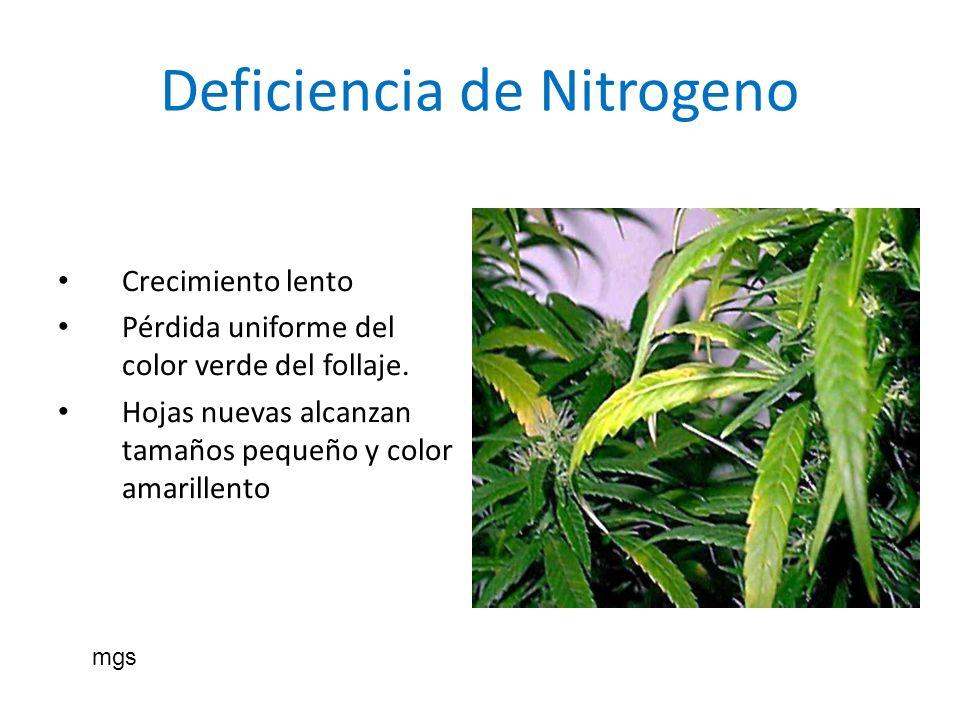 Deficiencia de Nitrogeno Crecimiento lento Pérdida uniforme del color verde del follaje. Hojas nuevas alcanzan tamaños pequeño y color amarillento mgs