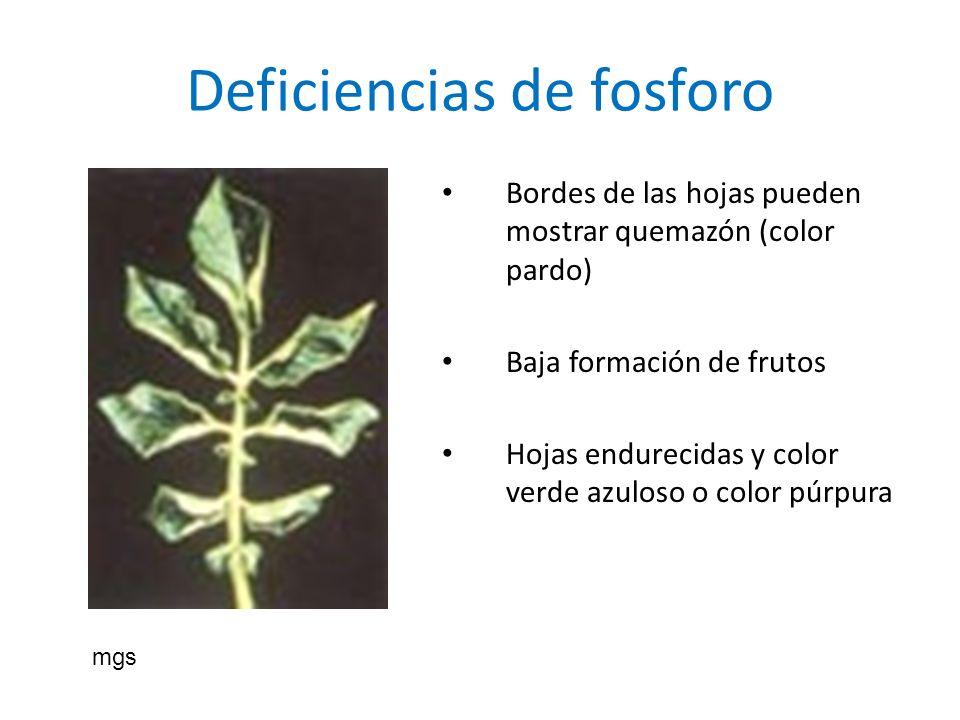 Deficiencias de fosforo Bordes de las hojas pueden mostrar quemazón (color pardo) Baja formación de frutos Hojas endurecidas y color verde azuloso o c