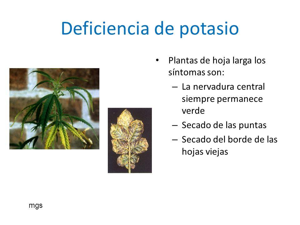 Deficiencia de potasio Plantas de hoja larga los síntomas son: – La nervadura central siempre permanece verde – Secado de las puntas – Secado del bord