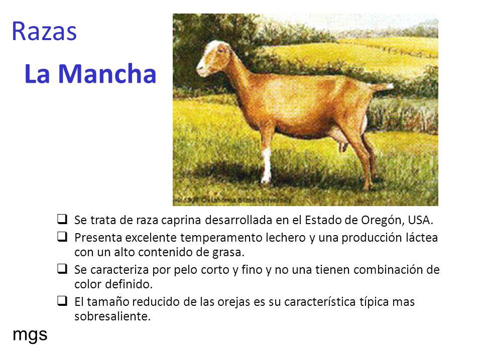 Razas La Mancha Se trata de raza caprina desarrollada en el Estado de Oregón, USA. Presenta excelente temperamento lechero y una producción láctea con
