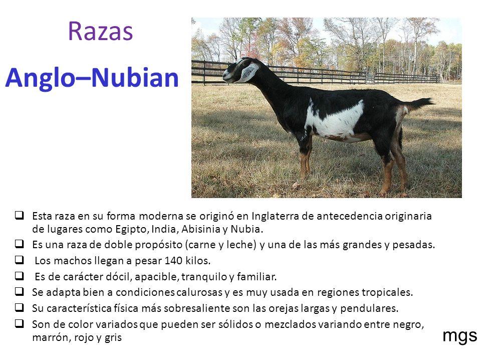 Razas Anglo–Nubian Esta raza en su forma moderna se originó en Inglaterra de antecedencia originaria de lugares como Egipto, India, Abisinia y Nubia.