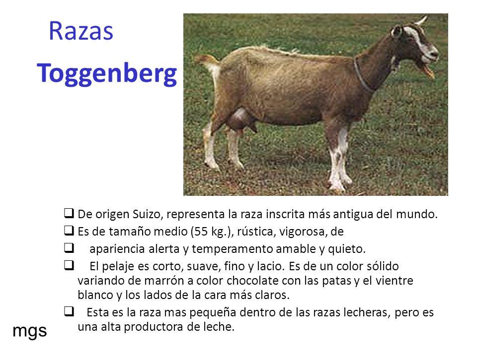 Razas Toggenberg De origen Suizo, representa la raza inscrita más antigua del mundo. Es de tamaño medio (55 kg.), rústica, vigorosa, de apariencia ale