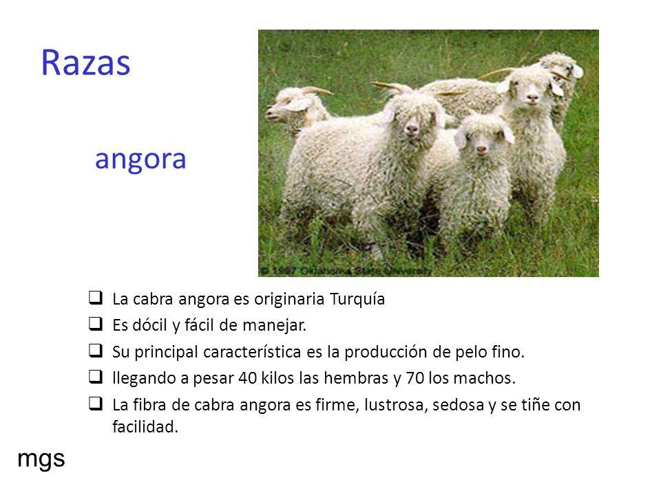 Razas angora La cabra angora es originaria Turquía Es dócil y fácil de manejar. Su principal característica es la producción de pelo fino. llegando a