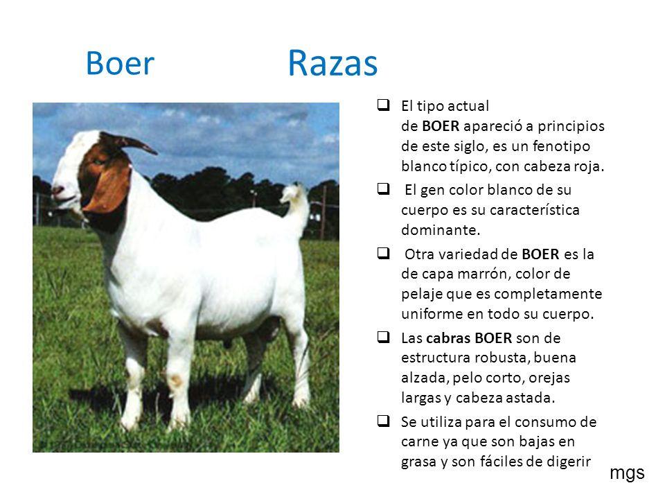 Razas Boer El tipo actual de BOER apareció a principios de este siglo, es un fenotipo blanco típico, con cabeza roja. El gen color blanco de su cuerpo