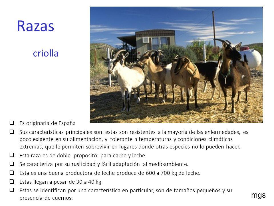 Razas criolla Es originaria de España Sus características principales son: estas son resistentes a la mayoría de las enfermedades, es poco exigente en