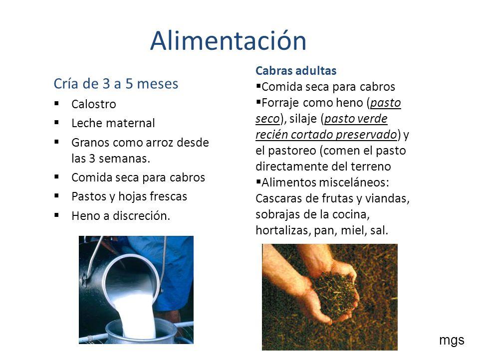 Alimentación Cría de 3 a 5 meses Calostro Leche maternal Granos como arroz desde las 3 semanas. Comida seca para cabros Pastos y hojas frescas Heno a